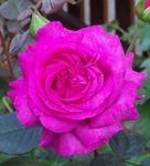 Rosefriend Avatar